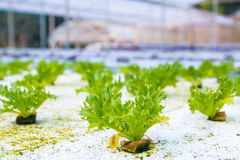Hydroponics vegetable in green house Royalty Free Stock Image