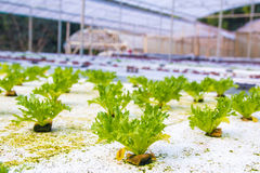 Hydroponics vegetable in green house Stock Images