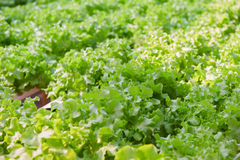 Hydroponics vegetable(Green oak) Stock Photography
