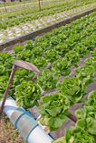 Hydroponics vegetable and Iron shovel. Royalty Free Stock Image