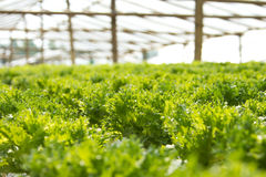 Hydroponics Vegetable Stock Photography
