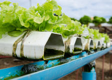 Hydroponics vegetable. Royalty Free Stock Photo