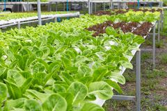 Hydroponics Vegetables Farm royalty free stock photography