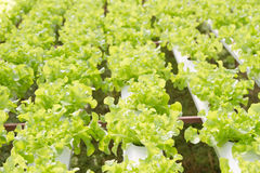 Hydroponics vegetables Stock Photos