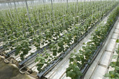 hydroponicsgrönsak royaltyfri foto