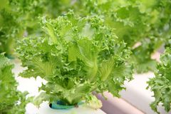 hydroponicsgrönsak Royaltyfria Bilder