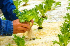 Hydroponik, organisches frisches geerntetes Gemüse stockfotografie