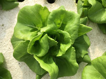 Hydroponika rośliny Zdjęcia Stock