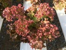 Hydroponika rośliny Fotografia Royalty Free