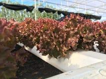 Hydroponika rośliny Zdjęcie Stock