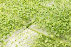 Hydroponika systemu szklarnia i organicznie warzywa sałatkowi w hydroponika uprawiamy ziemię dla zdrowie, jedzenia i rolnictwa po Fotografia Stock