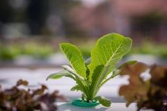 Hydroponiki metoda dorośnięcie rośliny obrazy stock