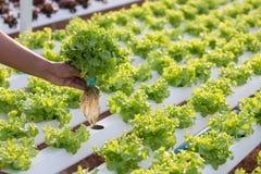 Hydroponiki metoda dorośnięcie zasadza używać kopalnego odżywki solu obraz stock