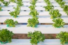 Hydroponiki metoda dorośnięcie zasadza używać kopalnego odżywki solu fotografia royalty free