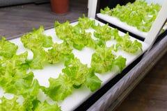 Hydroponiki warzywa gospodarstwo rolne Obrazy Royalty Free