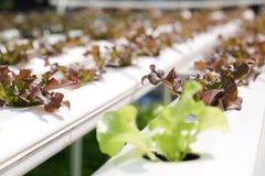 Hydroponiki warzywa gospodarstwo rolne Zdjęcie Royalty Free