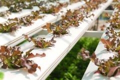 Hydroponiki warzywa gospodarstwo rolne Fotografia Royalty Free