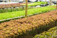 Hydroponiki warzywa gospodarstwo rolne dla zdrowego Obraz Royalty Free