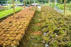 Hydroponiki warzywa gospodarstwo rolne dla zdrowego Zdjęcie Stock
