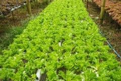 Hydroponiki warzywa gospodarstwo rolne dla zdrowego Zdjęcia Stock