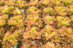 Hydroponiki warzywa gospodarstwo rolne dla zdrowego Fotografia Stock