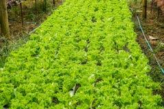 Hydroponiki warzywa gospodarstwo rolne dla zdrowego Zdjęcie Royalty Free