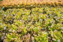 Hydroponiki warzywa gospodarstwo rolne dla zdrowego Obrazy Stock