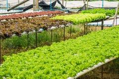 Hydroponiki warzywa gospodarstwo rolne dla zdrowego Fotografia Royalty Free