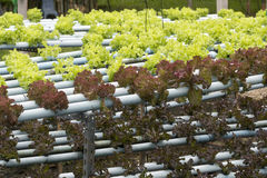 Hydroponiki warzywa uprawiać ziemię Zdjęcie Stock