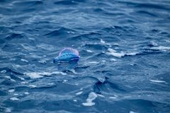 A Portuguese man of war or bluebottle Royalty Free Stock Photo