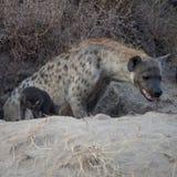 Hyeana manchado Imagen de archivo