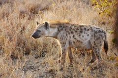 hyeana wczesny ranek dostrzegał Obraz Royalty Free
