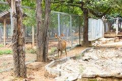 在动物园里拱起鹿(Hyelaphus porcinus) 库存图片