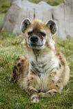 hyena που επισημαίνεται Στοκ Εικόνα
