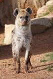 hyena που επισημαίνεται Στοκ Εικόνες