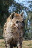 hyena που επισημαίνεται Στοκ Φωτογραφία