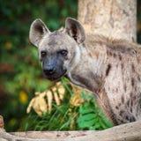 Κοίταγμα Hyena Στοκ Εικόνες