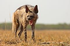 hyena ριγωτό Στοκ φωτογραφία με δικαίωμα ελεύθερης χρήσης