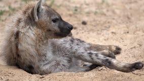 Hyena στην άμμο απόθεμα βίντεο