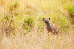 Hyena στη χλόη στην εθνική επιφύλαξη Maasai Mara Στοκ Φωτογραφίες