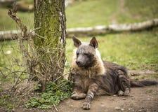 Hyena στο ζωολογικό κήπο της Πράγας, Δημοκρατία της Τσεχίας Στοκ Εικόνες
