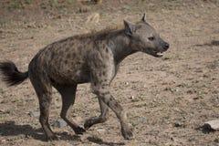 Hyena τρεξίματος Στοκ Εικόνες