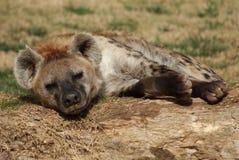 hyena запятнал стоковое изображение rf