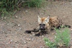 hyena новичка запятнал Стоковые Изображения
