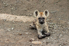 hyena новичка запятнал Стоковое Изображение RF