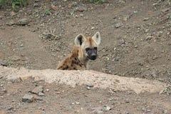 hyena новичка запятнал Стоковые Фото