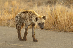 Hyena. Spotted Hyena PretoriusKop Kruger Park stock photo