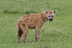 Hyena. Spotted hyena in the Masai Mare Royalty Free Stock Image