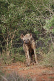 Hyena Imagen de archivo libre de regalías