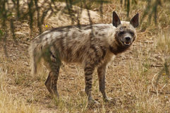 Hyena Stock Photography